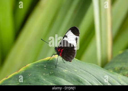 Tropischer Schmetterling, Doris-Falter (Laparus doris) - Stock Photo