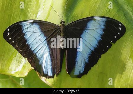 Tropischer Schmetterling, Blauer Morphofalter (Morpho peleides) - Stock Photo