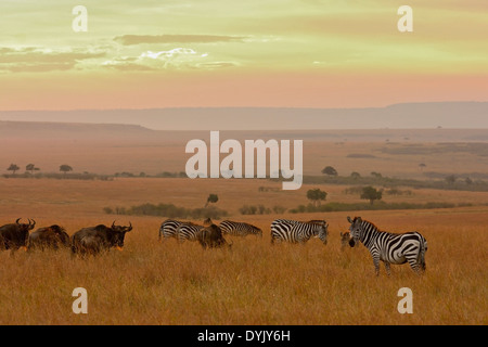 Zebras and Wildebeests in the grasslands of Masai Mara at sunset - Stock Photo