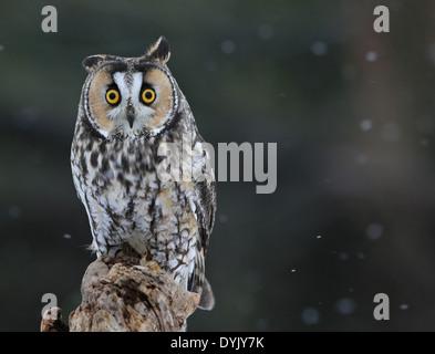 Posing Long-eared Owl - Stock Photo