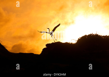Silhouette of egret flying off sand dune - Stock Photo
