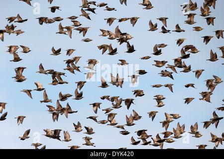 Starling, Sturnus vulgaris, flock in flight, Kent, March 2014 - Stock Photo