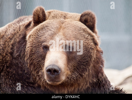 A portrait of an adult Grizzly Bear (Ursus arctos horribilis) in captivity at the Saskatoon Forestry Farm Park and - Stock Photo