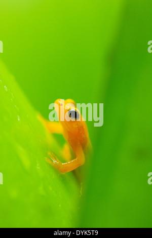 Beebe's Golden Rocket Frog (Anomaloglossus beebei), Kaieteur Falls, Kaieteur National Park, Guyana - Stock Photo