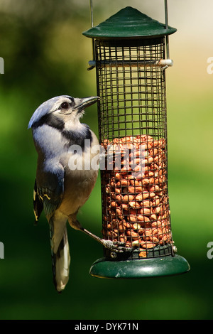 Blue Jay perched on a peanut feeder - Stock Photo