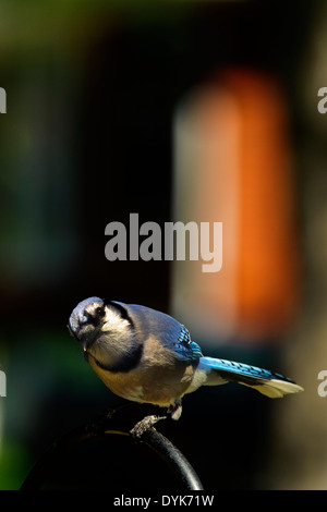 Blue Jay sitting on top of a feeder with head turned - Stock Photo