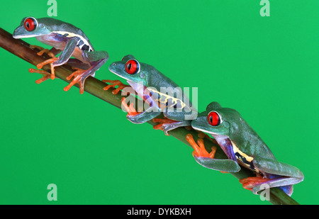 red-eyed treefrog (Agalychnis callidryas), three individuals sitting on a twig - Stock Photo
