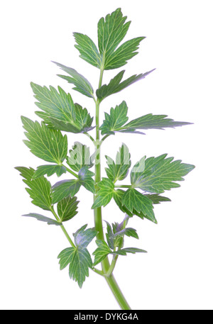 garden lovage, bladder seed (Levisticum officinale), foliage, leaves. - Stock Photo