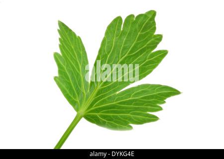 garden lovage, bladder seed (Levisticum officinale), single leaf. - Stock Photo