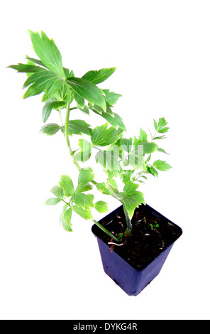 garden lovage, bladder seed (Levisticum officinale), potted plant. - Stock Photo