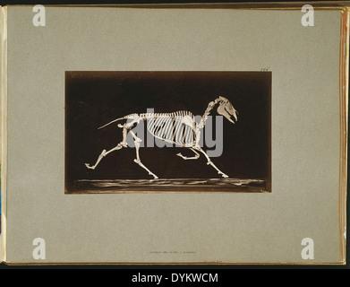 Skeleton of horse. Trotting. Nearing the ground