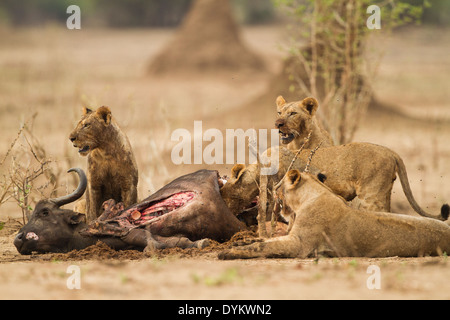 Lions feeding on African Buffalo kill - Stock Photo