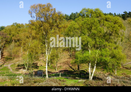 Silver Birch Woodland ( Betula pendula ) at Kingsford Forest Park, Worcestershire, England, UK in Spring - Stock Photo