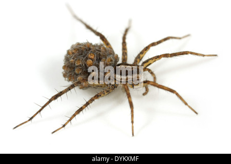 Female Pardosa monticola spider, part of the family Lycosidae - Wolf spiders. Carrying its spiderlings on its back. - Stock Photo