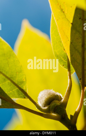 Looking up through the leaves and a developing flower bud of a Magnolia tree to a clear blue sky - Stock Photo