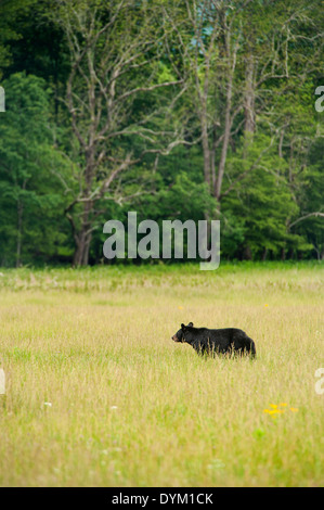 Black bear in a field at Cades Cove Great Smoky Mountains National Park Tennessee - Stock Photo