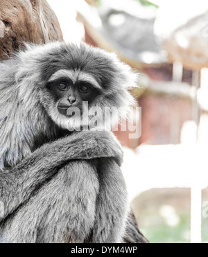 A downcast-looking Silvery Gibbon in a zoo