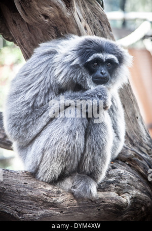 A downcast-looking Silvery Gibbon in a zoo Stock Photo