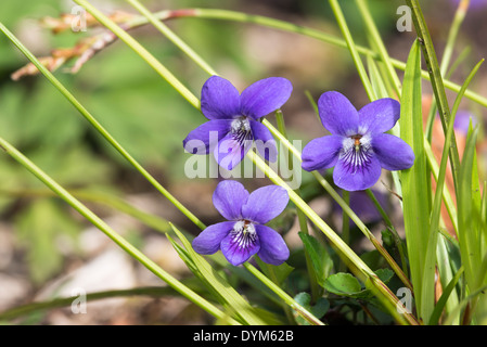 Viola riviniana common dog-violet; violet; - Stock Photo