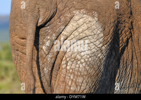 African elephant (Loxodonta africana), close-up of the tail, Addo Elephant National Park, Eastern Cape, South Africa, - Stock Photo