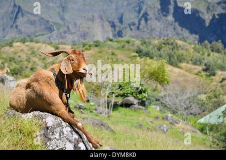 Goat, lying on a rock, taking a sun bath, Cirque de Mafate, Reunion Island, French overseas department, France, - Stock Photo