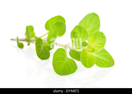 Fresh marjoram herbs isolated on white background. Culinary aromatic cooking herb. - Stock Photo