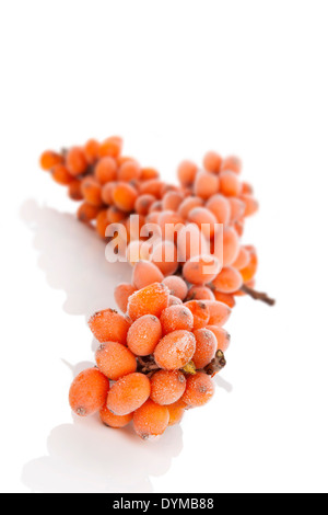 Sea-bucktorn twig with frost on berries isolated on white background. Natrural antioxidant, alternative medicine - Stock Photo