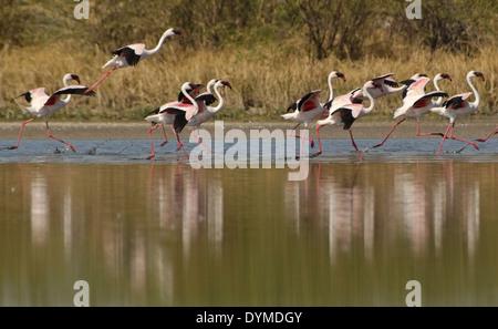 Lesser Flamingo (Phoenicopterus minor) - Stock Photo