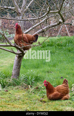 Two hens in a garden - Stock Photo