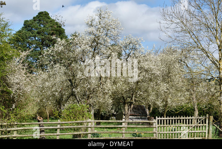 Plum trees in bloom in spring, in an old Herefordshire orchard - Stock Photo