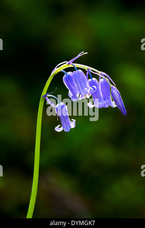 Common Bluebell (Hyacinthoides non-scripta) backlit by the morning sun - Stock Photo