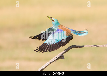 European Roller (Coracias garrulus) in flight holding an unidentified Grasshopper (Caelifera) - Stock Photo