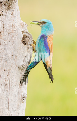 European Roller (Coracias garrulus) at its nest hole holding an unidentified Grasshopper (Caelifera) - Stock Photo