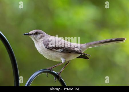 Northern Mockingbird Mimus polyglottos in southwestern Florida - Stock Photo