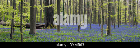 Fallen tree trunk in beech forest with bluebells (Endymion nonscriptus) in flower in spring - Stock Photo