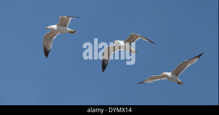 A montage of three photographs of a flying Yellow-legged Gull showing changes in wing shape in flight, Manavgat, - Stock Photo