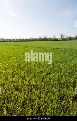 Young winter wheat in a sunny April Northamptonshire field. - Stock Photo