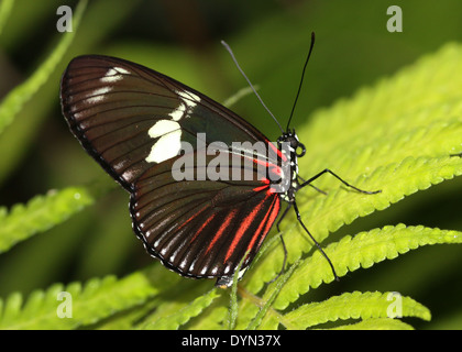 Doris Longwing Butterfly (Laparus doris, Heliconius doris), close wings - Stock Photo