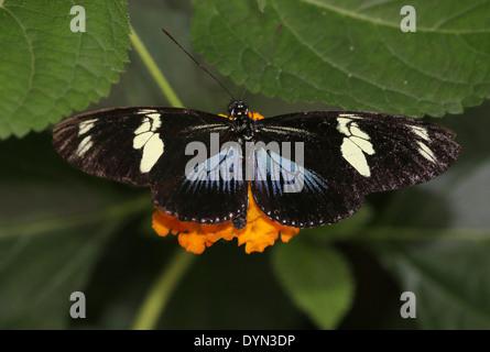 Blue morph Doris Longwing Butterfly (Laparus doris, Heliconius doris) feeding on a flower - Stock Photo