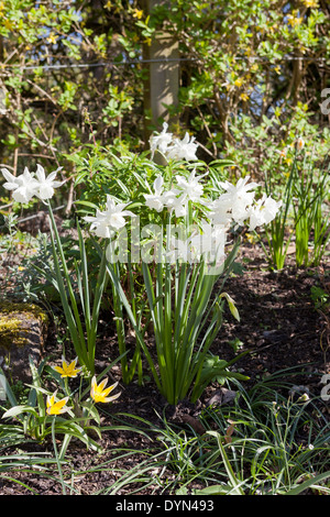 Narcissus Thalia, a pure white daffodil, under planted by Tulipa Dasystemon Tarda growing in a border in Cambridge, - Stock Photo