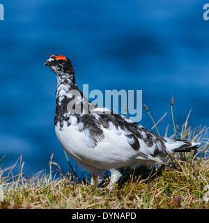 Rock ptarmigan bird in summer
