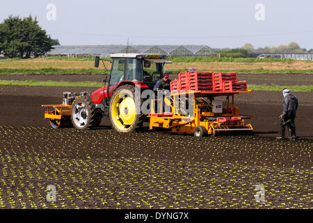 Tarleton, Lancashire, UK 23rd April, 2014.  Warm temperatures and drying soils enable migrant farm workers, labourers - Stock Photo