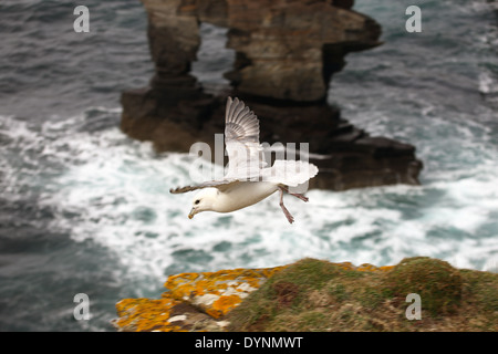 Fulmar landing on the cliffs with Yesnaby Castle the red sandstone sea stack in the background - Stock Photo