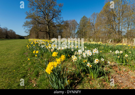 ROWS OF DAFFODILS IN SPRINGTIME AT BRODIE CASTLE GARDENS MORAY SCOTLAND - Stock Photo