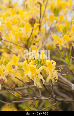 Abundant masses of delicate blossom of bright yellow mustard colored  rhododendron flowers a sign of Spring - Stock Photo