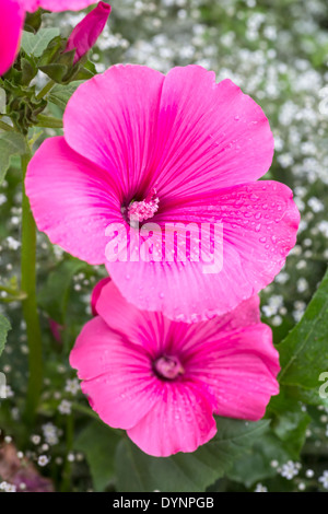 Rose Mallow in the home garden. - Stock Photo