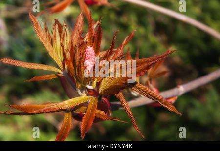 Blooming bush of red chestnut - Aesculus pavia Koehnei - Stock Photo