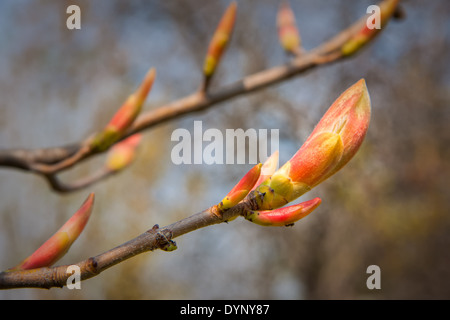 Buds of red chestnut - Aesculus pavia Koehnei - Stock Photo