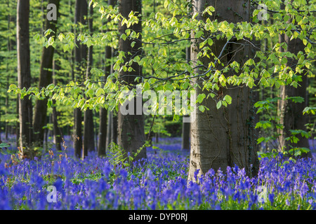 Bluebells (Endymion nonscriptus) in flower in beech forest (Fagus sylvatica) in spring - Stock Photo