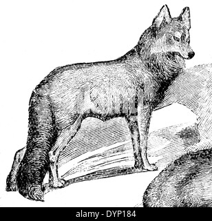 Red wolf (Canis rufus), illustration from Soviet encyclopedia, 1928 - Stock Photo